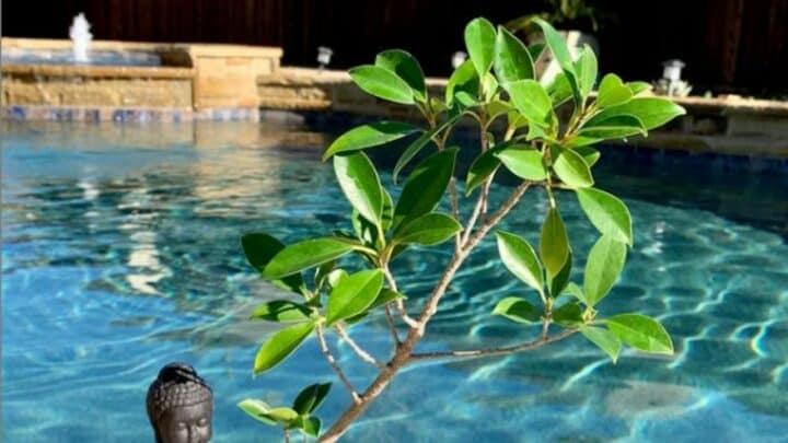 Golden Gate Ficus Bonsai Care — The Ultimate Guide
