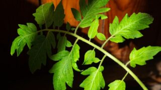 Holes on Tomato Leaves