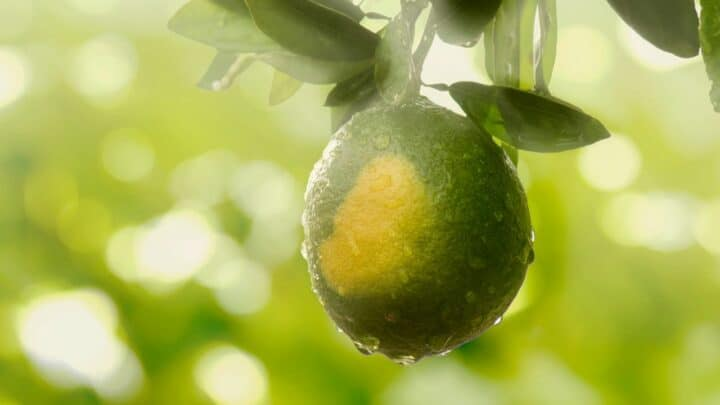 How Much Water Does a Lemon Tree Need? — The Answer