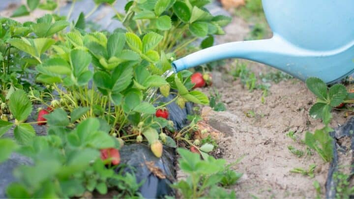 How Often Do You Water Strawberries? Here!