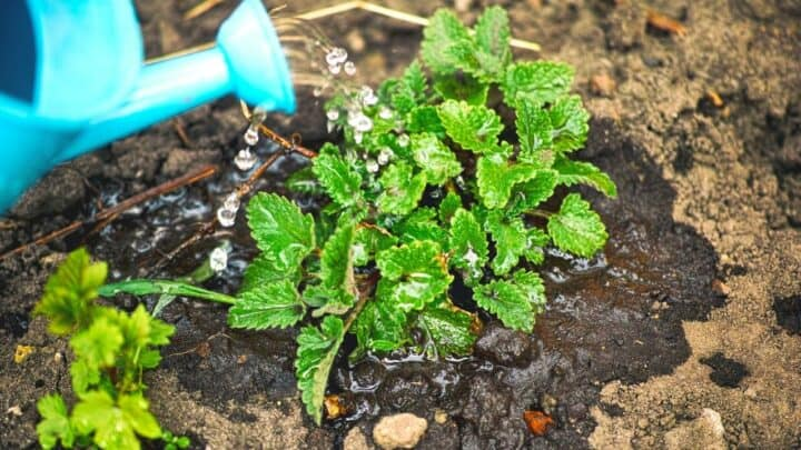 How Often to Water Mint? — Question Solved