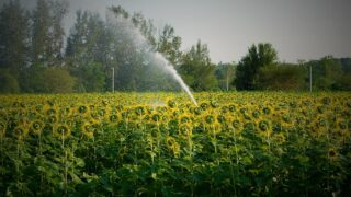How Often to Water Sunflowers