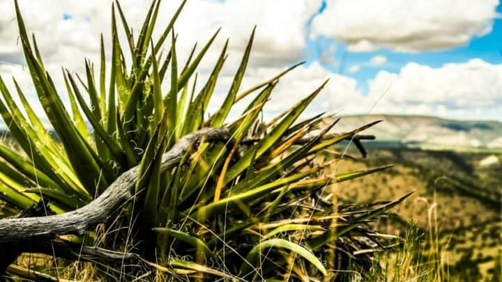 How to Get Rid of Yucca Plants — Best Two Methods
