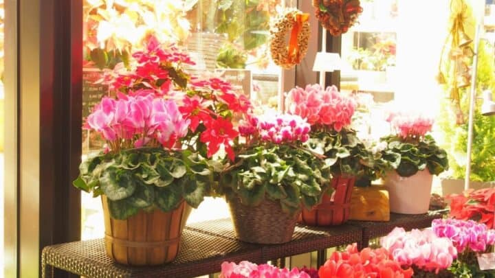 How to Care for Cyclamen Indoors — The Complete Guide