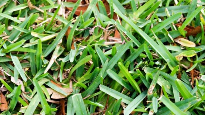 How to Make St Augustine Grass Spread Quickly — Pro Tips!