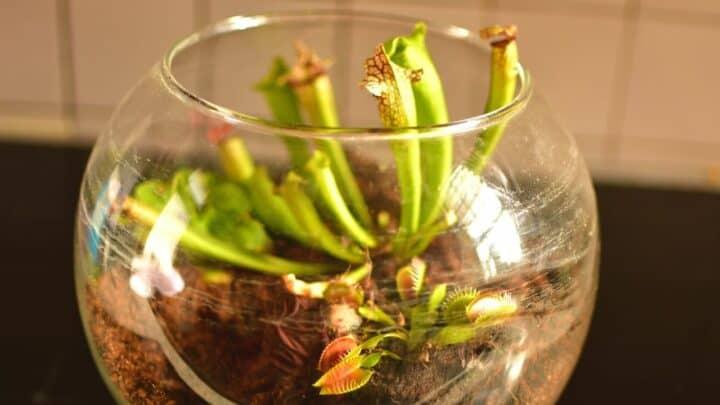 How to Set Up a Carnivorous Plant Terrarium — 5 Easy Steps