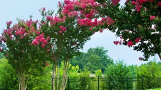 How to get Rid of Aphids on Crepe Myrtle Trees