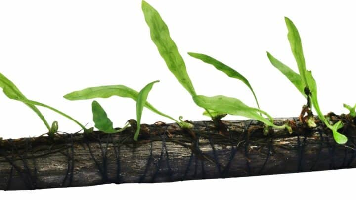 How to Trim Java Fern and Make it Grow Better