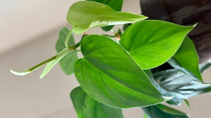 Philodendron Light Requirements – How Much is Needed?