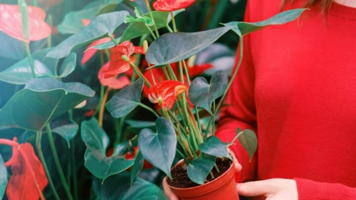 Repotting Anthurium Plants – Your Detailed Guide