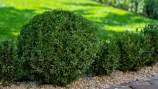 When to Transplant Boxwoods