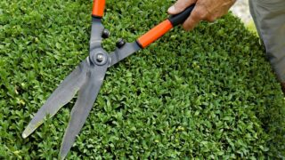 When to Trim Boxwoods
