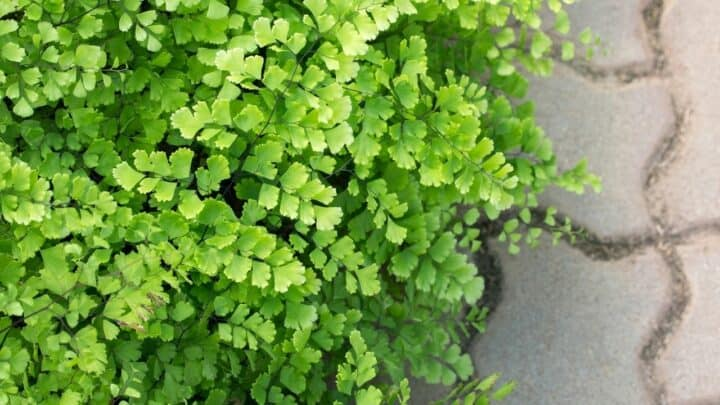 Why is My Outdoor Fern Dying? — Here's Why!