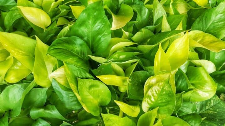Why Golden Pothos Leaves Turn Yellow?  What's The Problem?
