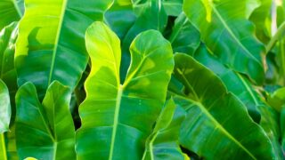Yellow Philodendron Leaves