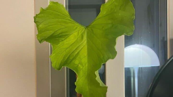 Anthurium Balaoanum Plant Care — Green Thumbs Guide