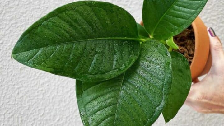 Anthurium Compact Plant Care — A Complete Guide