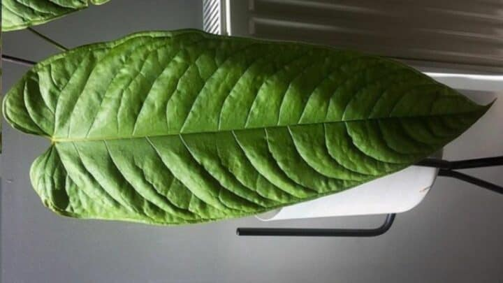 Anthurium Lineolatum Plant Care — All There Is To Know!