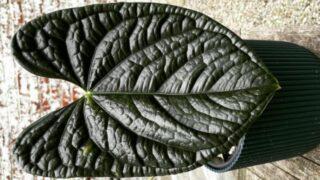Anthurium Luxurians