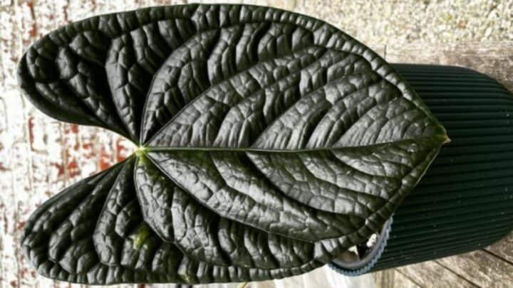 Anthurium Luxurians Care — Pro Gardener Tips!