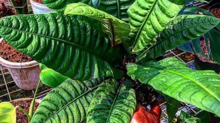 Anthurium Reflexinervium Care — The Best Plant Guide 101