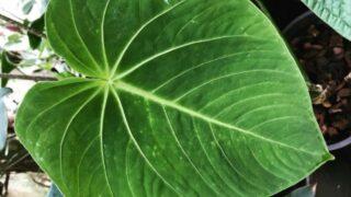 Anthurium Waterburyanum