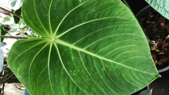 Anthurium Waterburyanum Care — Top Tips!