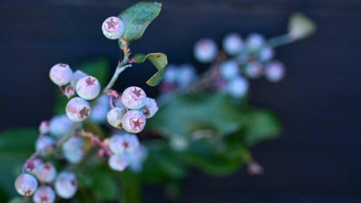The Best Blueberry Plant Variety — Yummy!
