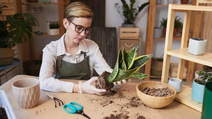 The Best Soil for Snake Plants? Aha!