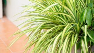 Brown Tips on Spider Plant Leaves