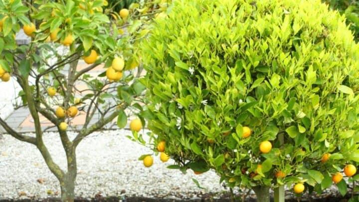 Citrus Tree — Plant Care Guide 101