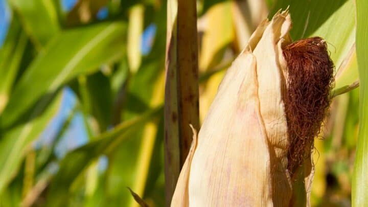 8 Reasons For Brown Tips on Corn Plants