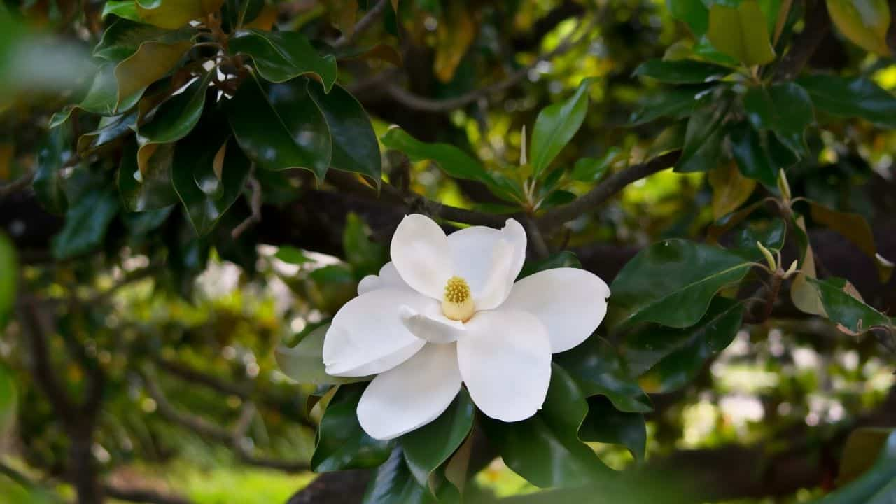 D.D. Blanchard Southern Magnolias