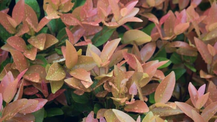 Eugenia Plant Problems — 6 Things to Know