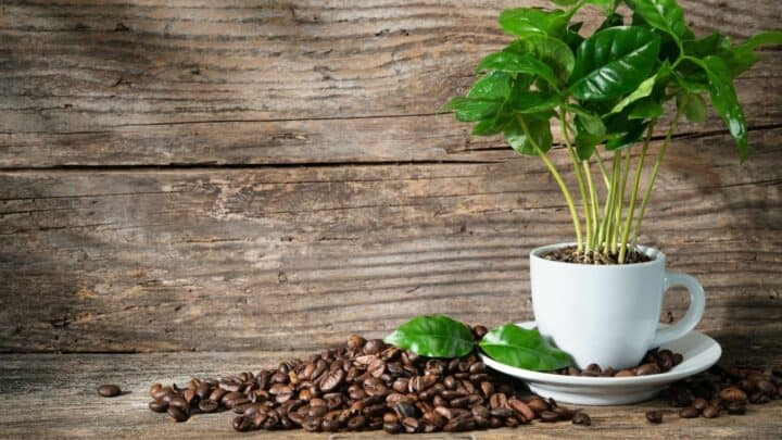 6 Houseplants that Like Coffee Grounds