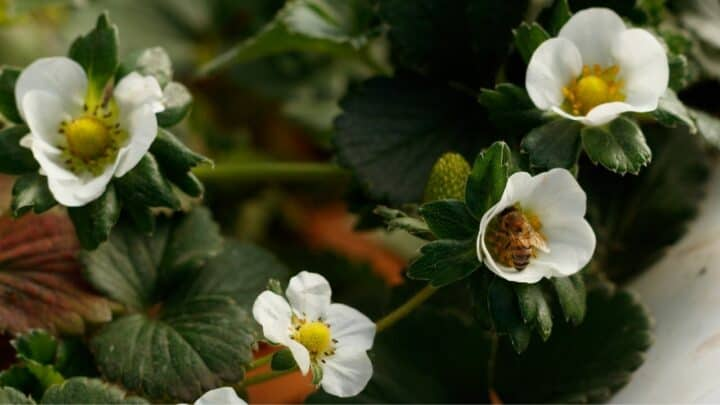 How to Pollinate Strawberries Like Pro Growers Do