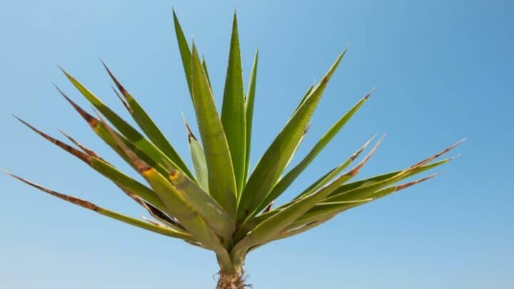 How to Revive a Yucca Plant — 9 Things to Consider