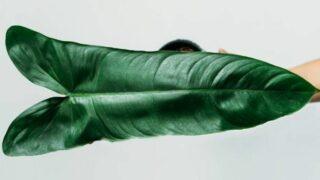 Philodendron Balaoanum