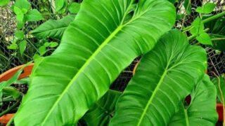Philodendron Deflexum