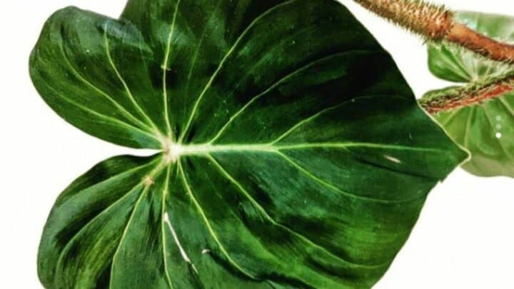 Philodendron Fibrosum Care  — What You Should Know
