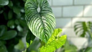 Philodendron Furcatum Care