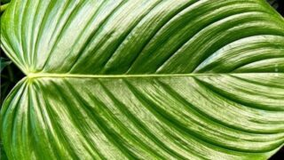 Philodendron Grandipes