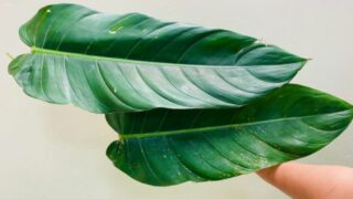 Philodendron Lehmannii