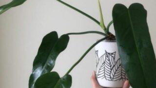 Philodendron Saggitifolium