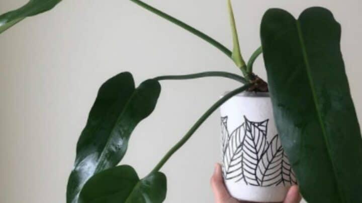 Philodendron Saggitifolium Plant Care — Top Guide