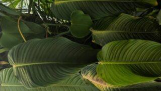 Philodendron Scherberichii