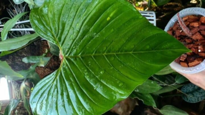 Philodendron Squamicaule Care — What You Should Know