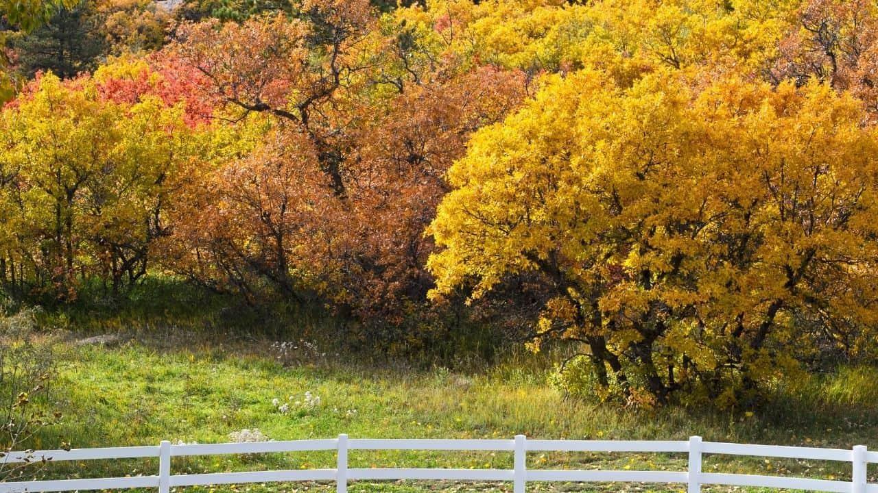Scrub Oak