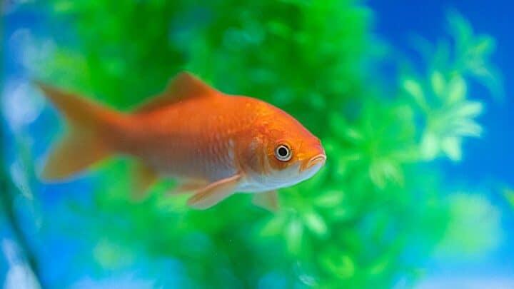 The 5 Best Aquarium Plants for Goldfish — Revealed
