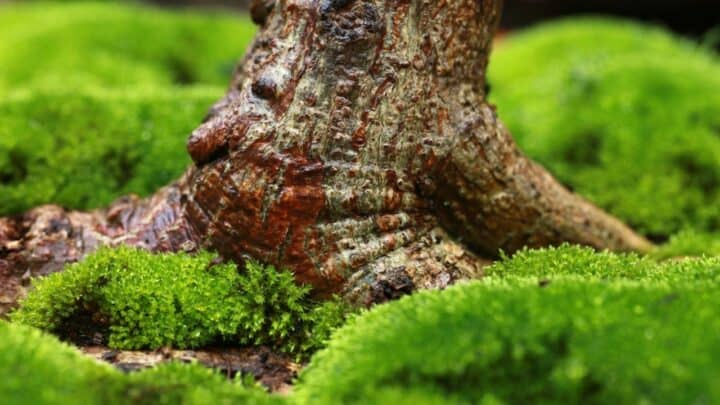 The Best Moss Species for Bonsai — Revealed